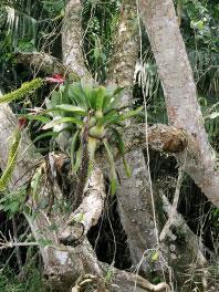 Panama-Orchid